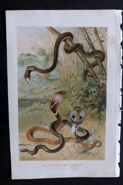 Lydekker 1895 Antique Print. Rat Snaked and Cobras
